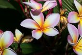 picture of frangipani  - white  - JPG