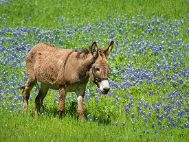 picture of bluebonnets  - Donkey grazing on bluebonnet pasture in Texas spring - JPG
