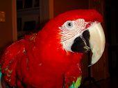 Loro Guacamaya Parrot Pet