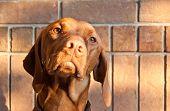 Hungarian Vizsla Dog With Brick Wall