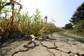 picture of drought  - Corn field hit by hard drought at hot summer - JPG