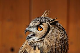 pic of owls  - Indian eagle - JPG
