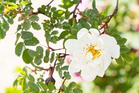 stock photo of wild-brier  - White Wild Rose Flower Hip spring Blossom - JPG