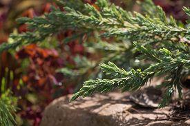 picture of juniper-tree  - Juniper Tree Green Carpet on multicolor background - JPG