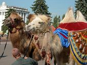 image of hump day  - Two two-humped camels in a sunny day