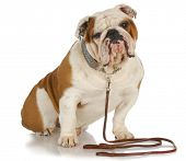 stock photo of bulldog  - dog on a leash  - JPG