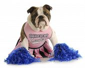 cheerful dog - english bulldog dressed up like a cheerleader with pompoms