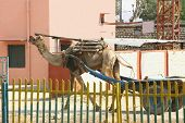 picture of camel-cart  - A domesticated camel drags a cart in India - JPG