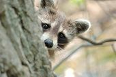 picture of raccoon  - Head shot of a young raccoon peeking around a tree trunk - JPG