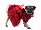 Mops In Red Gown