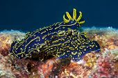 Florida Regal Sea Goddess Nudibranch