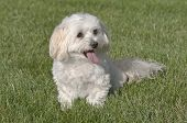 Maltese Toy Poodle Mixed Puppy Sitting In Grass