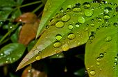 Nandina leaf after a rain shower