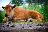 Baby Buffalo Laying