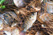 Fish In Fishing Net. Animal.. poster