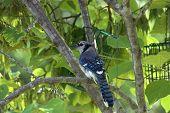 Mr Blue Jay