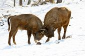 stock photo of aurochs  - two bisons butt each other in winter forest - JPG