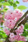 Постер, плакат: Розовый Abloom японская вишня Сакура цветут в солнечный весенний день