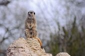 Meercat Looking Cute
