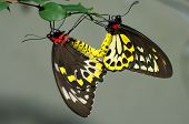 Cairns Birdwing Butterflies