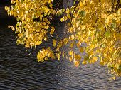 Yellow Leaves Near Pond