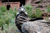 Condor close up