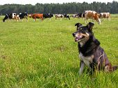 foto of herding dog  - trained dog as a herder in the farm - JPG