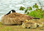 image of mother goose  - mother canadian goose and her ducklings sleeping - JPG