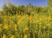 Goldenrod Allergic Weed