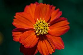 stock photo of cosmos flowers  - Cosmos sulphureus flower burning in brilliant orange - JPG