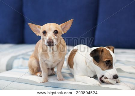 poster of Two Dogs Sit On The Couch And Share A Bone. The Dog Smog In Eyes. Close-up Portrait Of A Dog. Jack R