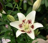 stock photo of asiatic lily  - photo of Lily Centerfold in my garden - JPG