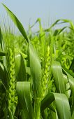 Successfull business (green wheat)