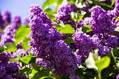 Lilac Flowers In Sunny Spring Garden, Spring Flower Background, Selective Focus. Closeup Of Blooming poster