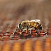 honey bee working on a cell; shallow (DOF)