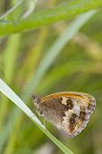 foto of gatekeeper  - Gatekeeper Butterfly (Pyronia tithonus) perched on a leaf