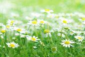 daisy spring; shallow DOF