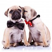 lady mops puppy whispering something or kissing its gentleman partner while seated. cute mops couple