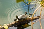 picture of cooter  - Charismatic Florida Cooter stretching out and catching some rays - JPG