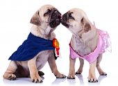 princess and champion pug puppy dogs kissing on white background. couple of mops puppy dogs , dressed like a champion and a princess, kissing