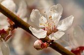 Cherry Blossom Branch In Spring Season. Blooming Cherry. Beautifully Blossoming Cherry Branch. poster