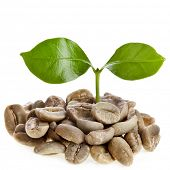 image of coffee crop  - sprout  coffee tree with coffee beans  - JPG