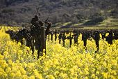 Grape Vines And Mustard Flowers, Napa Valley