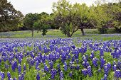 Bluebonnets On A Hillside