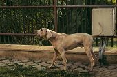 Photo Of Beautiful Pedigreed Weimaraner Dog  (male) With Tail Up - Barking And Defending His Area (h poster