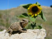 Baby Texas Horned Lizard