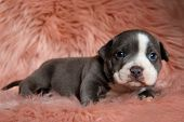 Lovely American Bully puppy sitting with its mouth closed while curiously looking forward on furry p poster