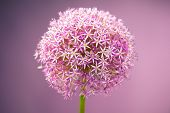 Purple alium onion flower, studio shot