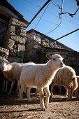 Rural Scene - Heard Of Sheep