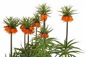 Fritillaria Imperialis Rubra Common Name Crown Imperial